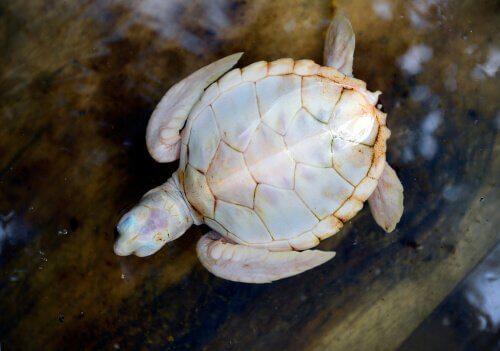 La tartaruga bianca: tutto quello che c'è da sapere