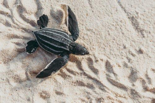 Tartaruga liuto: caratteristiche, alimentazione e habitat