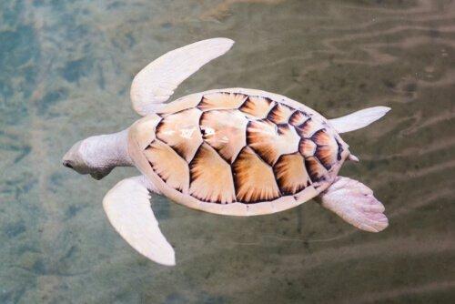Tartaruga pelle bianca