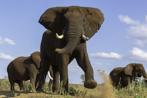 Testosterone elefante