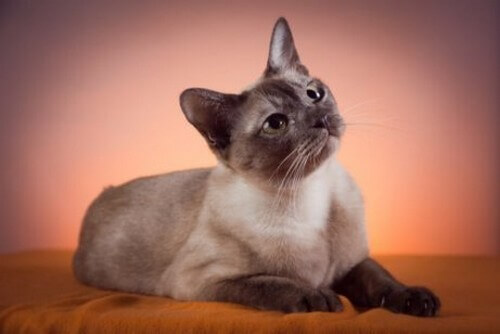 Gatto tonkinese: caratteristiche e cure