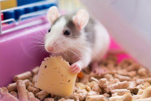 Topo nella gabbia mangia formaggio