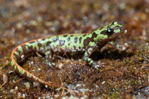 Tritone pigmeo tra salamandre della penisola iberica
