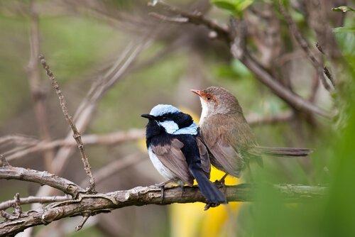 Uccelli australiani