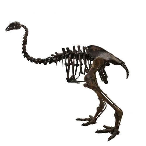 scheletro di uccello elefante