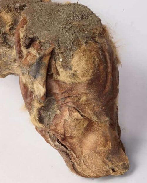 Un lupo mummificato