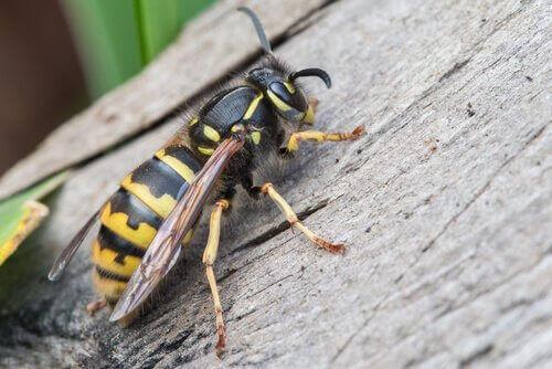 Una vespa sul legno