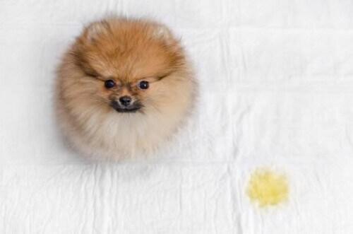 4 passaggi per evitare che il cane faccia la pipì nella cuccia