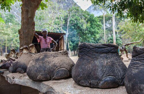 Zampe elefanti