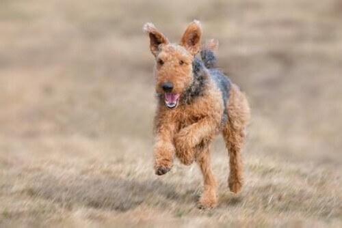 Airedale Terrier: un cane grande e forte