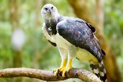 Aquila tra animali con gli artigli più lunghi