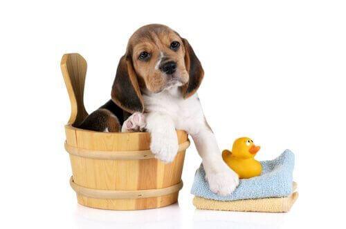 Beagle e paperella