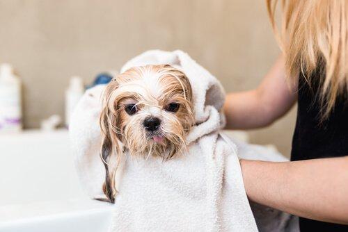 Cane che viene asciugato con asciugamano