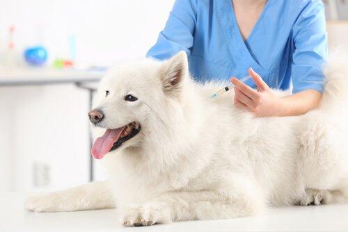 Veterinario che fa puntura ai cani