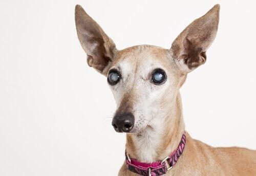 Cane con glaucoma negli occhi