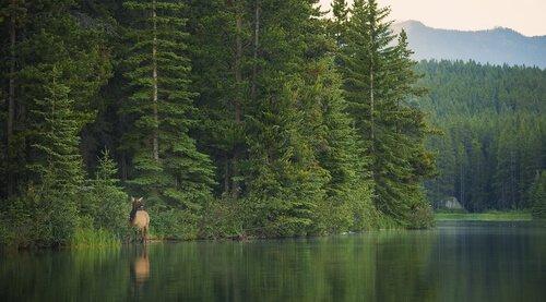 Cervo canadese vicino al lago