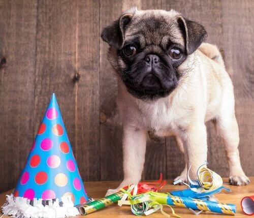 Organizzare una festa di compleanno per il carlino