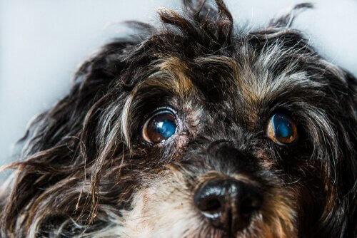 Il glaucoma nei cani: sintomi e trattamento