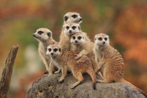 Un gruppo di suricati