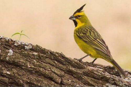 Il cardinale verde e il suo canto dolce e melodioso