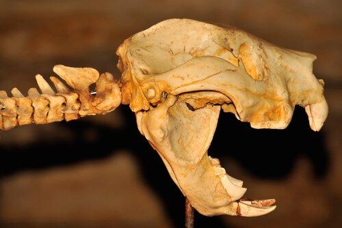 Leone marsupiale