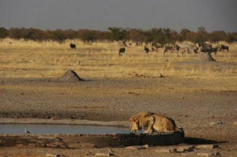 Leone nel deserto