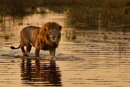 I leoni che cacciano nel mare