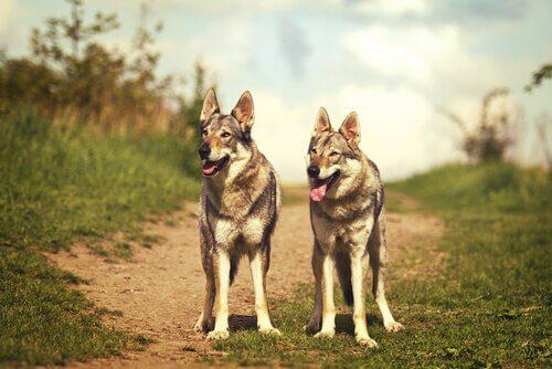Due esemplari di lupo cecoslovacco
