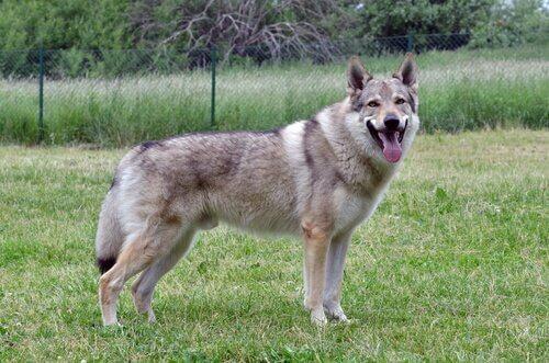 Le caratteristiche del cane lupo cecoslovacco