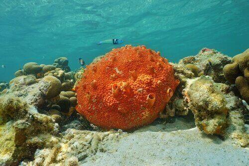 Spugna marina arancione su fondale