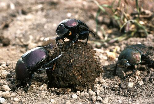 scarabei con pallottola di sterco
