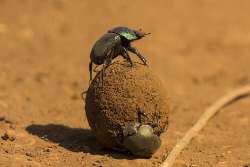 Due scarabei stercorari che formano pallottola