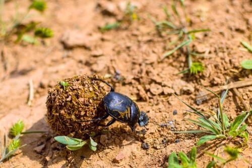 Scopriamo il curioso scarabeo stercorario