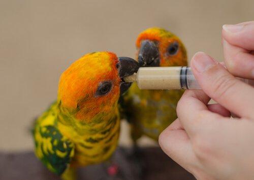 Siringa per alimentare uccelli