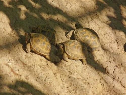Come determinare il sesso della tartaruga