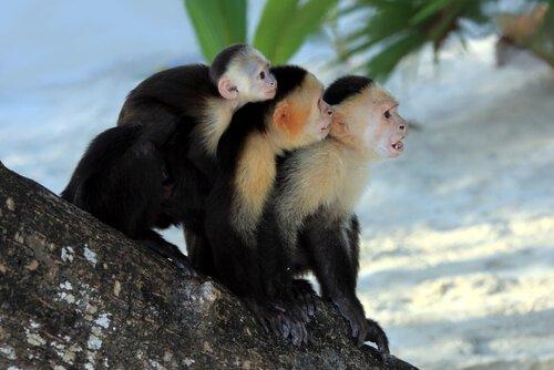 Tre scimmie su albero