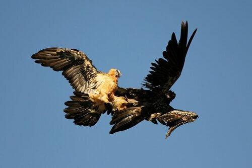 Coppia di avvoltoi