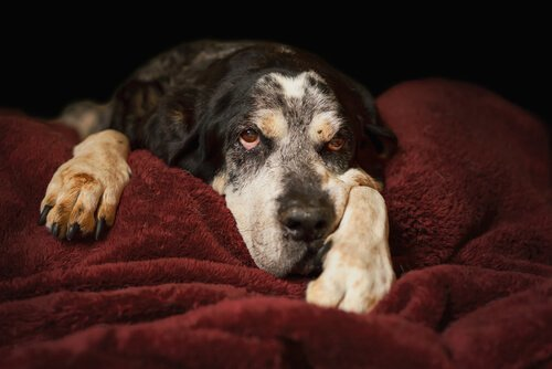 Diarrea cani anziani