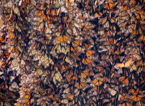Branco di farfalle monarca.