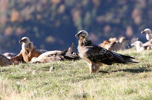 Habitat avvoltoio barbuto