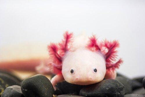 axolotl rosa