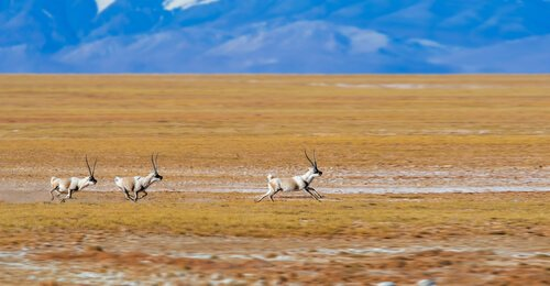 Antilopi tibetane che corrono