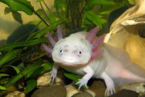 Axolotl: scoprite di che animale si tratta