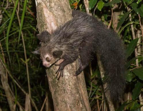 L'aye-aye: un primate stranissimo che vive in Madagascar