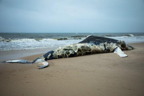 Balena morta sulla spiaggia