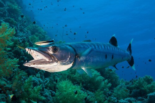 Alimentazione del barracuda