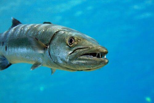 Il barracuda, un pesce aggressivo e imprevedibile