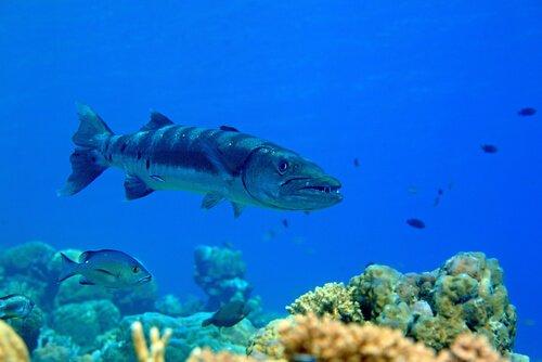 Barracuda nel fondale marino