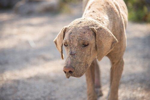 Come riconoscere l'acariasi nei cani