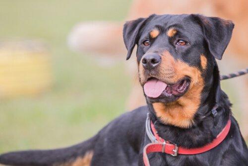 Il cane da pastore di Beauce: origini e comportamento